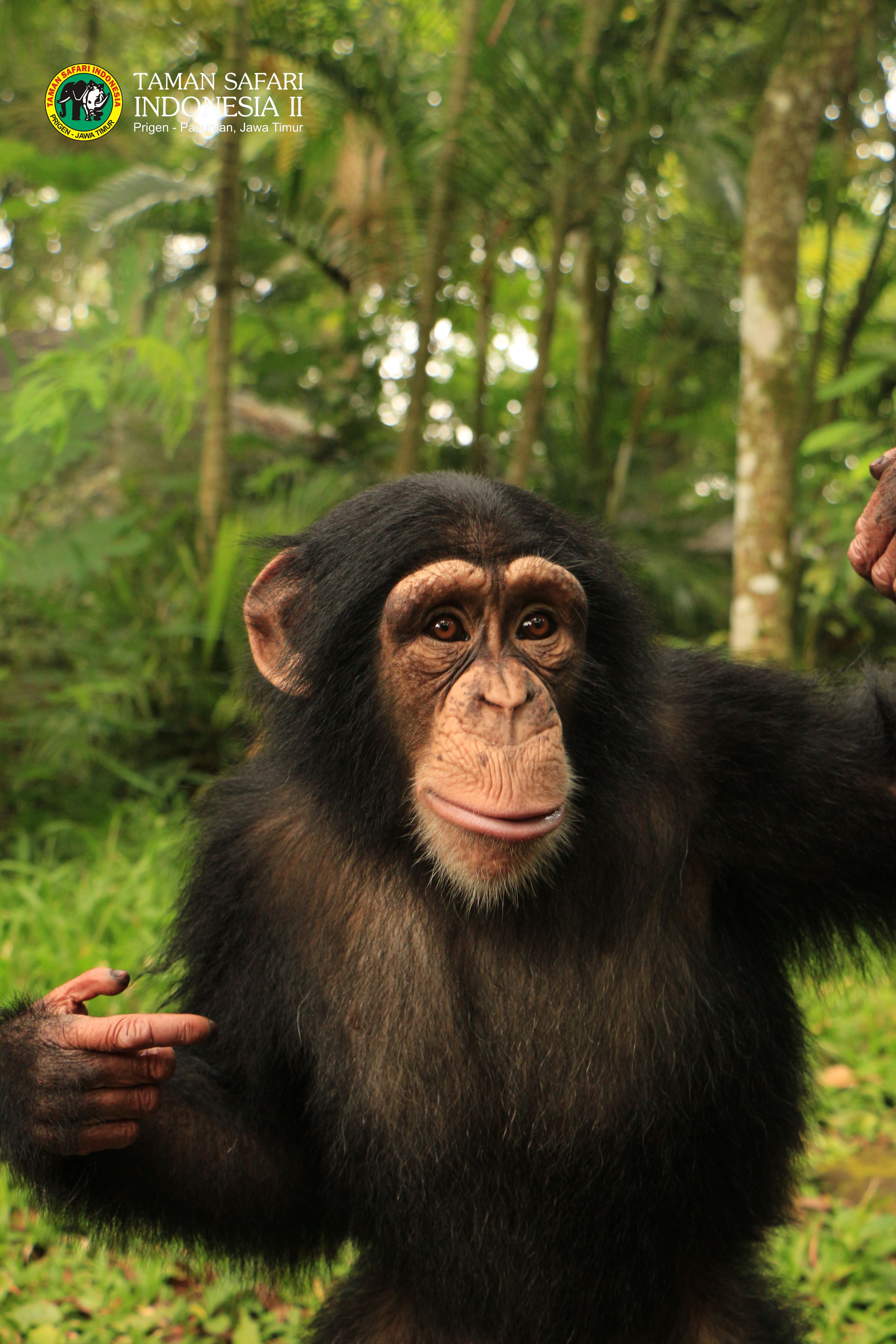 meet with this cute simpanseonly in taman safari prigen