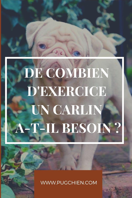Les Carlins Chiens Pug De Combien D Exercice Un Carlin A T Il Besoin Dogs Animals