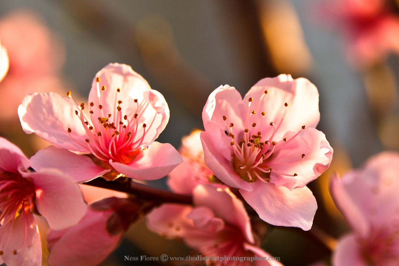 Pin By Peggy Sheehan On Journey To The West Flowers Peach Trees Fruit Flowers