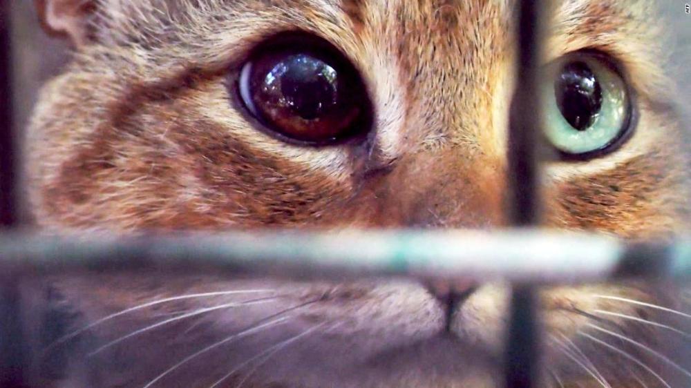 New Cat Breed Found The Cat Fox Cat Species Cat Breeds Fox Species