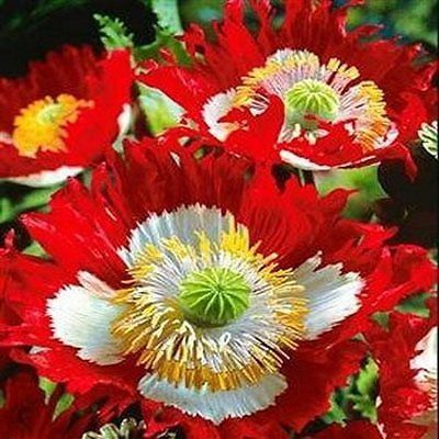 Poppy Danish Flag Flower Seeds (Papaver Somniferum) 200+Seeds - Under The Sun Seeds  - 2