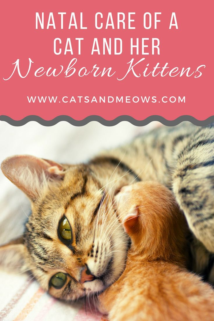 Post Natal Care Of A Cat And Her Newborn Kittens