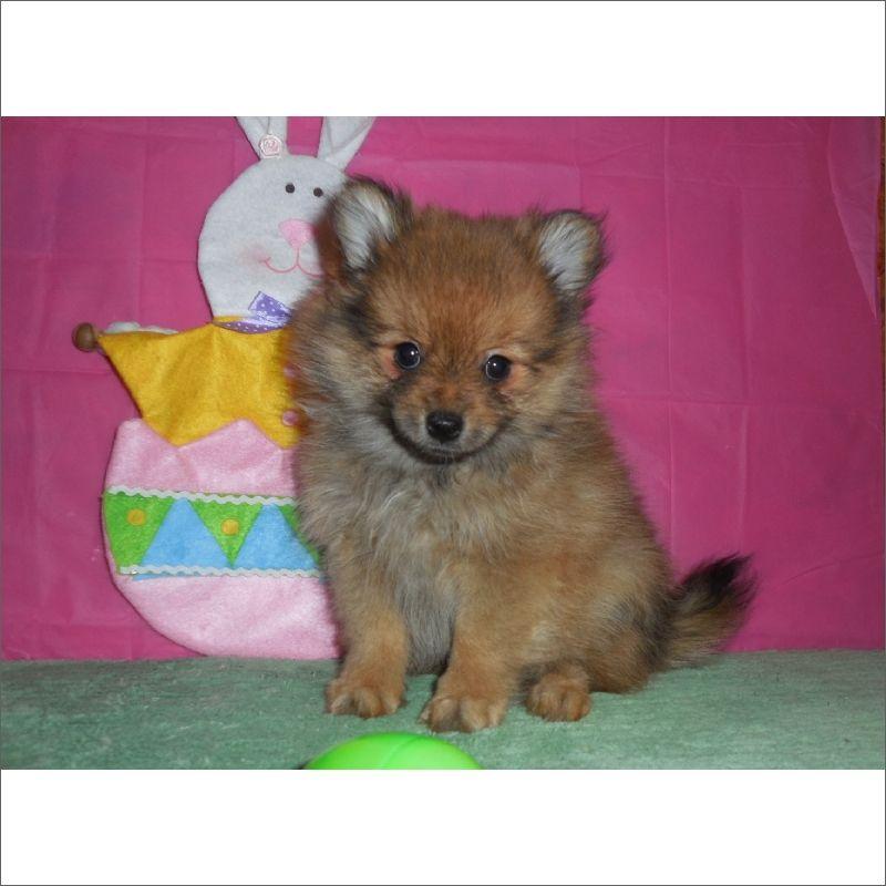 Pomeranian Puppy For Sale In Tucson Az Adn 26751 On Puppyfinder