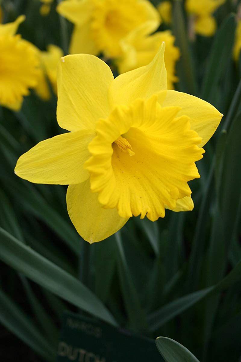 Dutch Master Daffodils 25 Bulbs Yellow Daffodil Narcissus Bulbs Bulb Flowers Yellow Daffodils Flowers Perennials