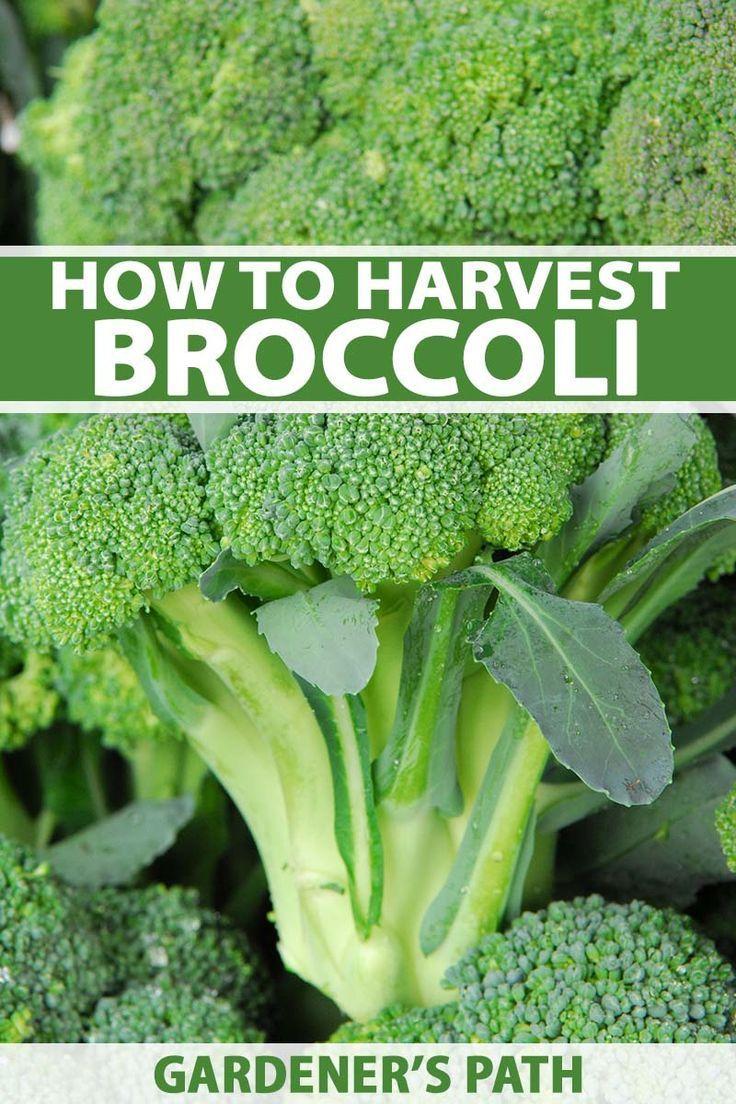 How to harvest broccoli gardeners path harvesting
