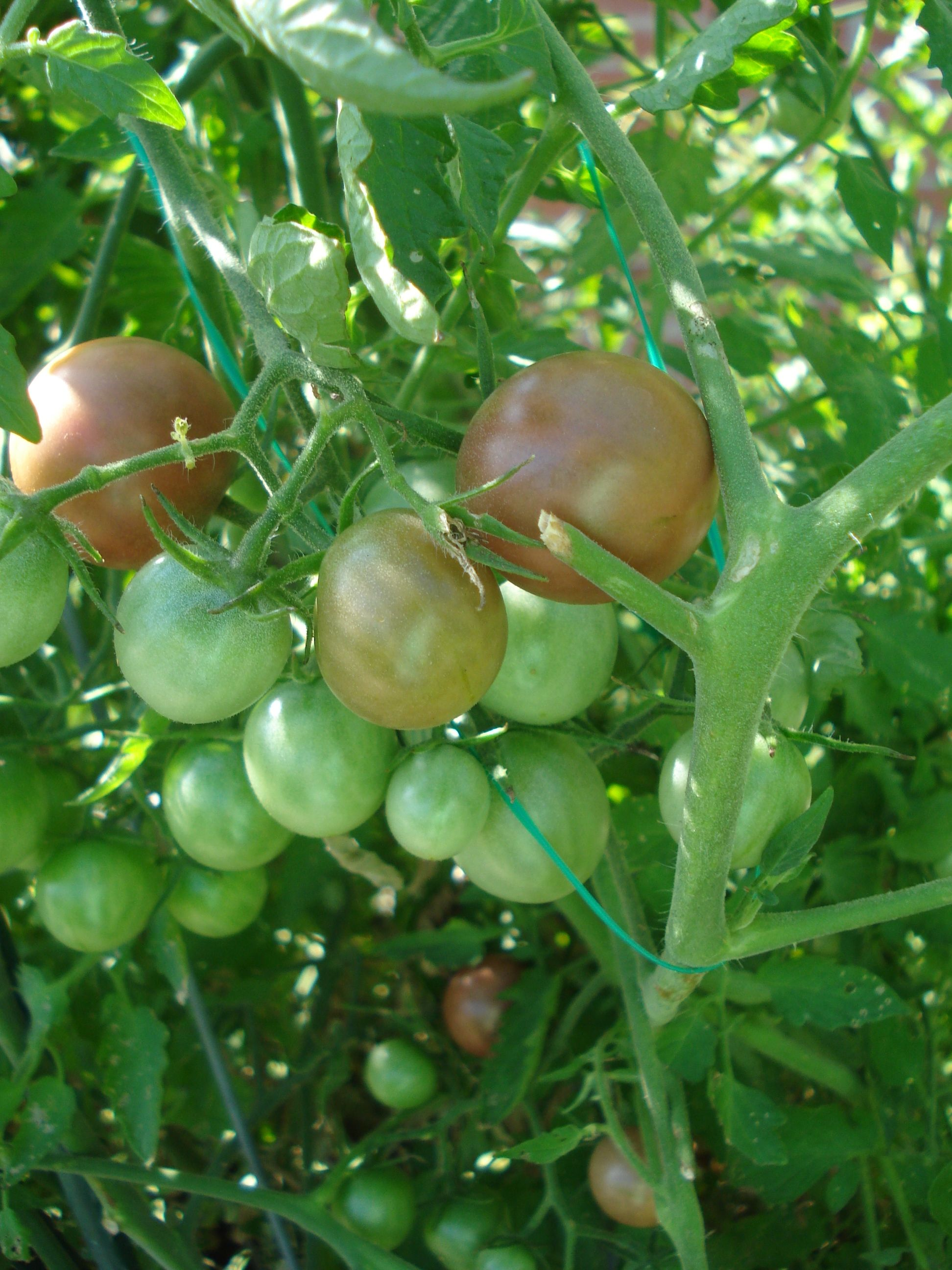 We Have Three Plants Of The Variety Black Cherry Tomatoes 400 x 300