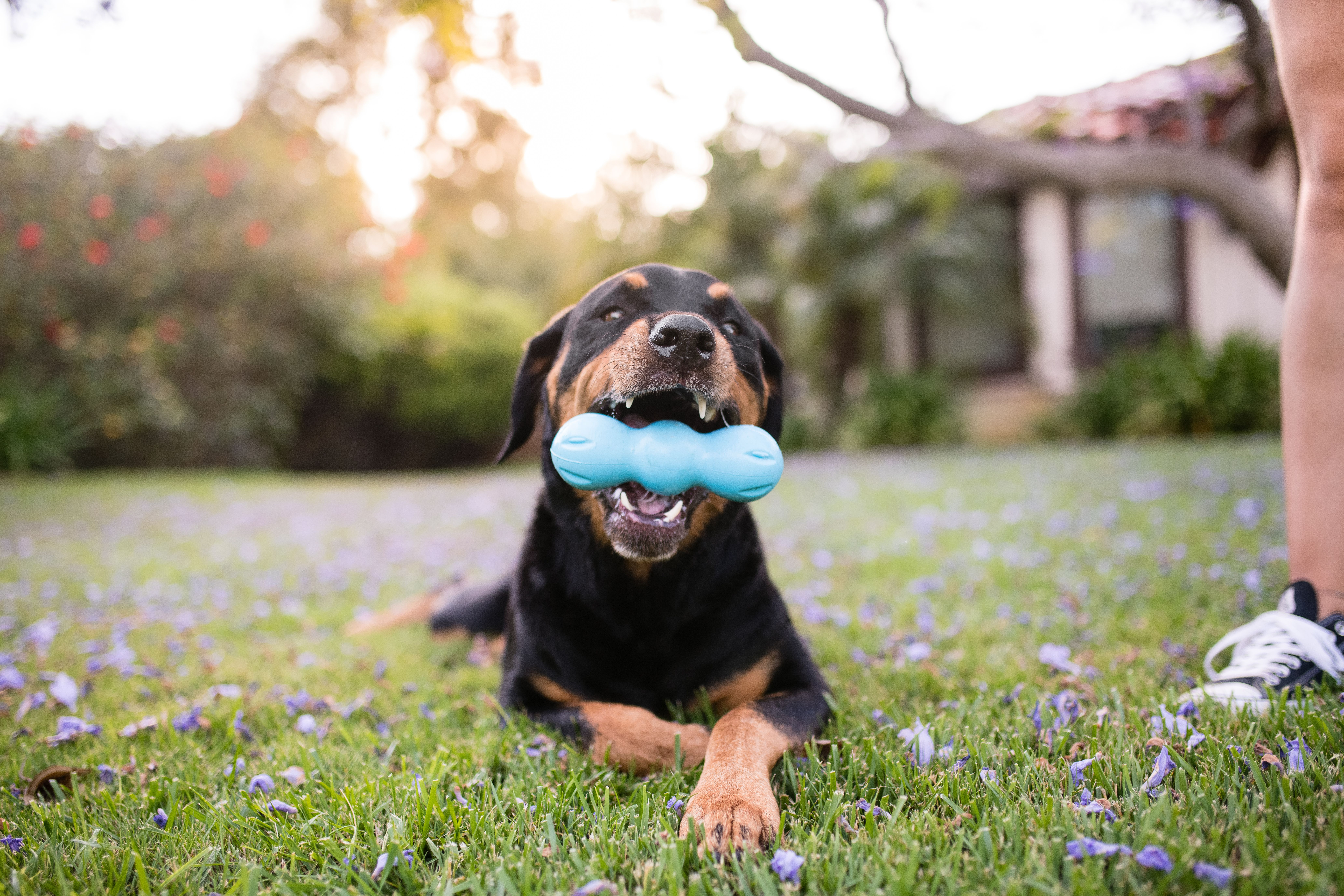 Built For Tough Chewers West Paw S Newest And Most Durable Dog