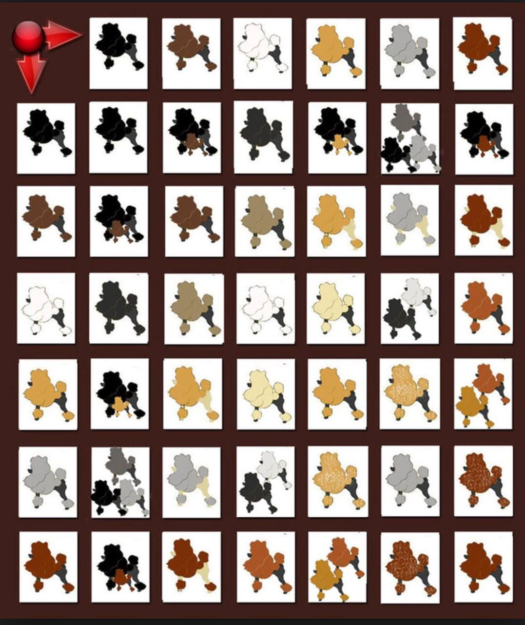 Poodle Breeding Color Chart Everything Dog Grooming Pinterest