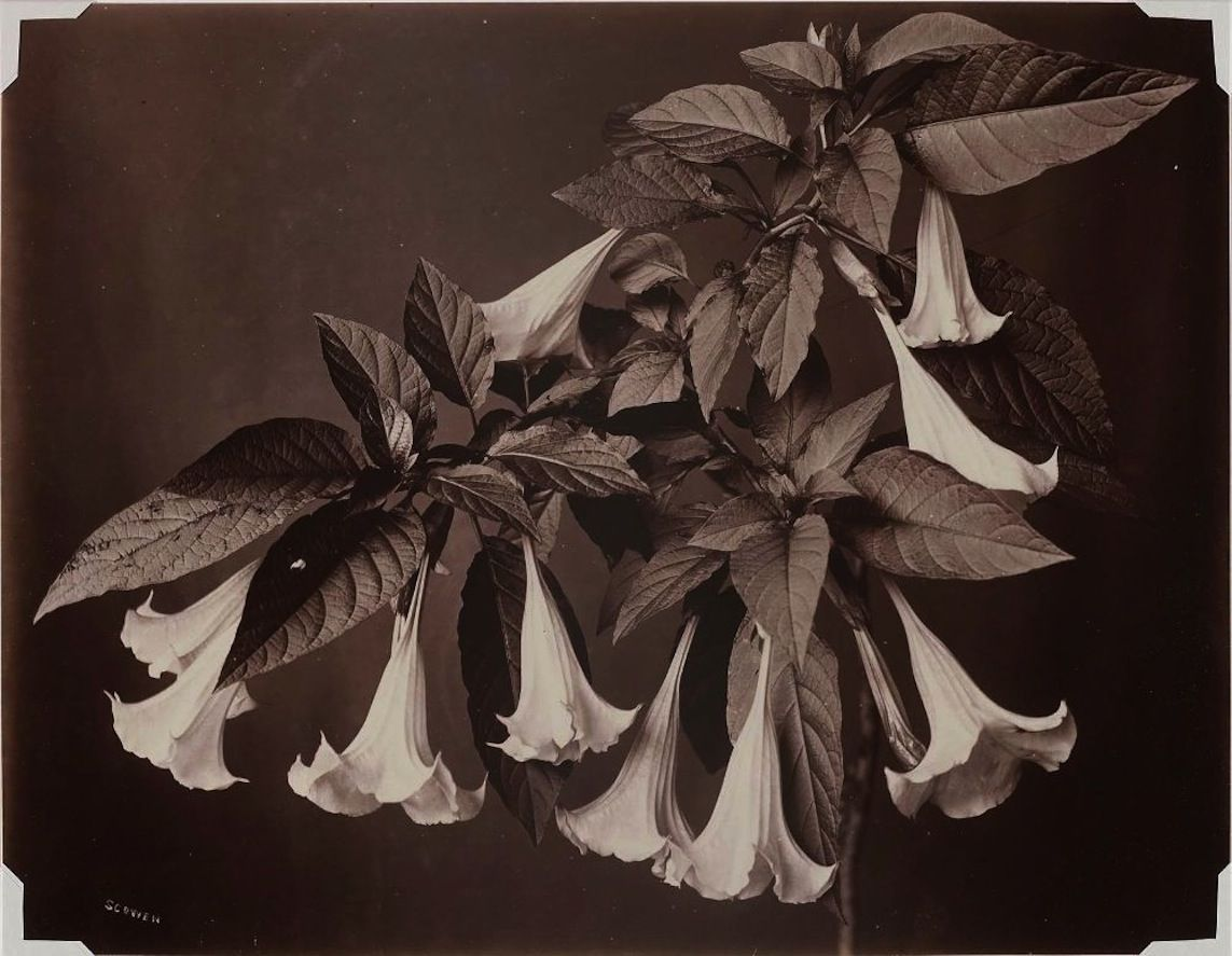 English Ceylon 1860s Bell Flower 1870 1900 Botanical Photograph