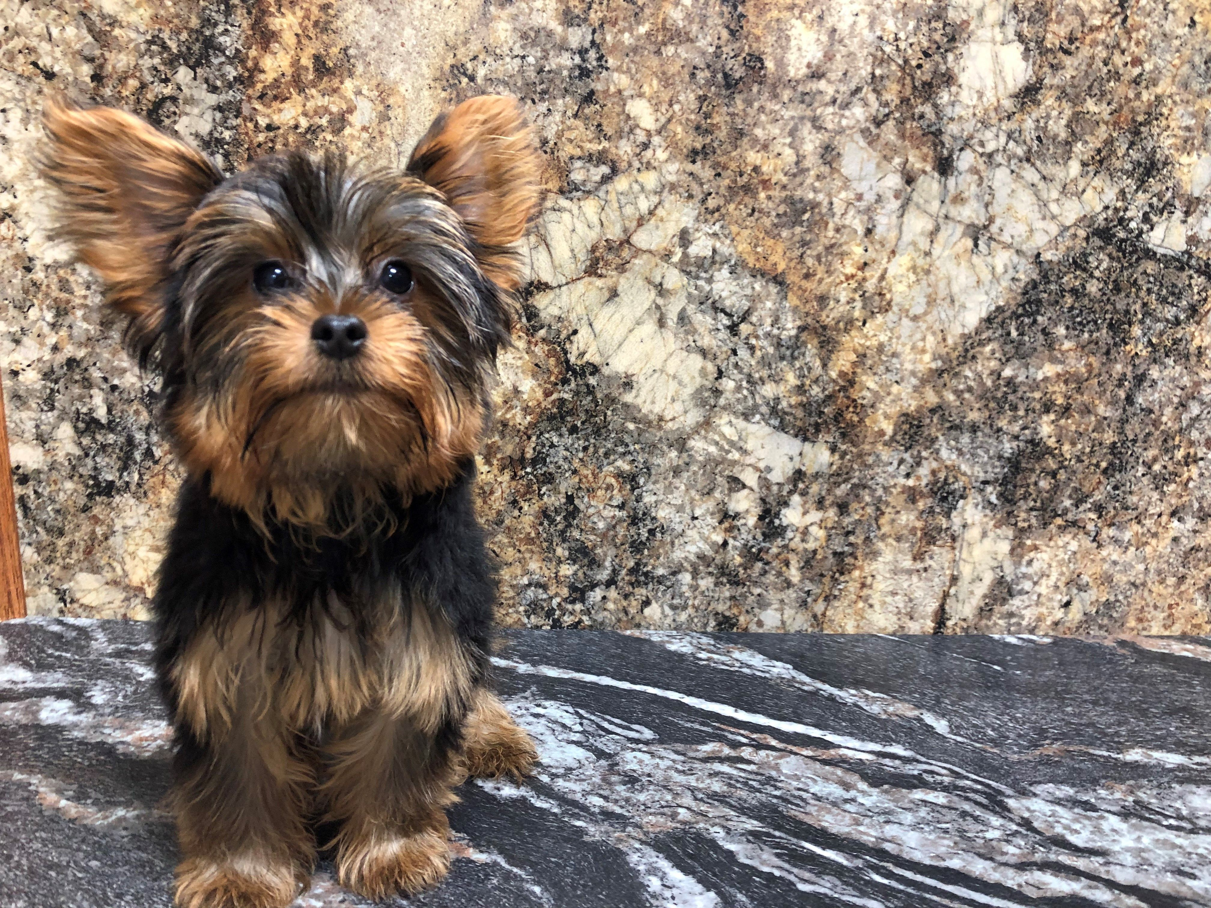 Petland Kansas City Has Yorkshire Terrier Puppies For Sale Check