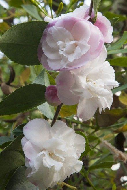Camellia Cinnamon Cindy Camellia Lutchuensis Hybrid Fragrant Flowers Fragrant Plant Camellia Plant