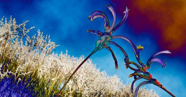Australian native flowers. Esther Beaton uses digital techniques to enhance photographs. (Credit: Esther Beaton)