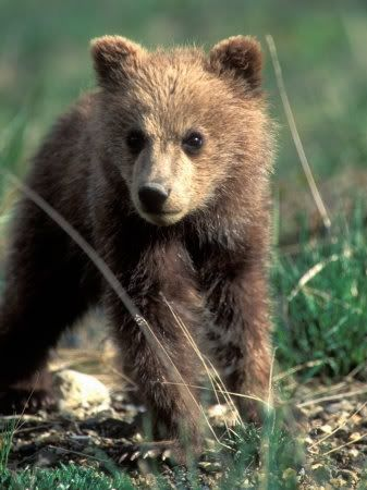 baby grizzly beer | misc - bears, dark | grizzly bear cub, bear cubs