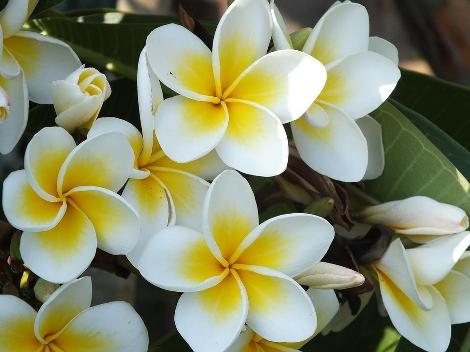 Jasmin Flower Facts My East Rand Caracteristicas De Las Plantas Jazmin Flor Arbol De Plumeria
