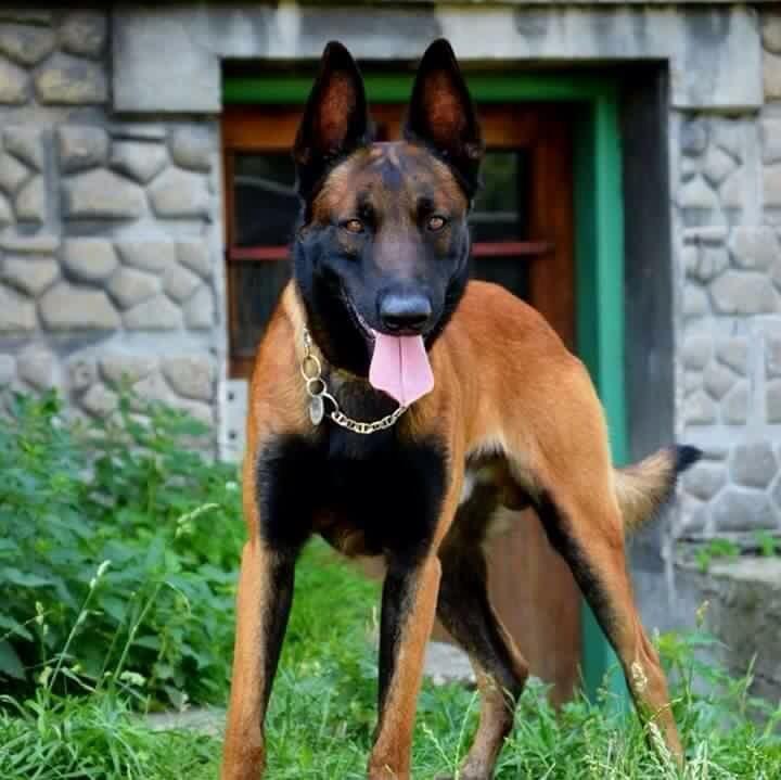 Belgian Shepherd Dog Malinois Belgischer Schaferhund Hunde