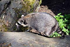 O guaxinim1 (Procyon lotor), também chamado mapache e rato-lavadeiro em Portugal, é um mamífero da família dos procionídeos bastante parecido com o Procyon cancrivorus, porém com as patas esbranquiçadas. Tais animais são encontrados nas Américas do Norte, Central e do Sul e são conhecidos também pelo nome de racum. No Brasil guaxinim2 e jaguacinim3 referem-se a vários Procionídeos, especialmente Procyon cancrivorus4 . Existem também na Europa Central e no Cáucaso.