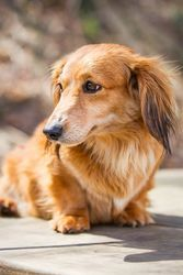 Adopt Katie On Adoptable Dachshund Dog Dachshund Dogs
