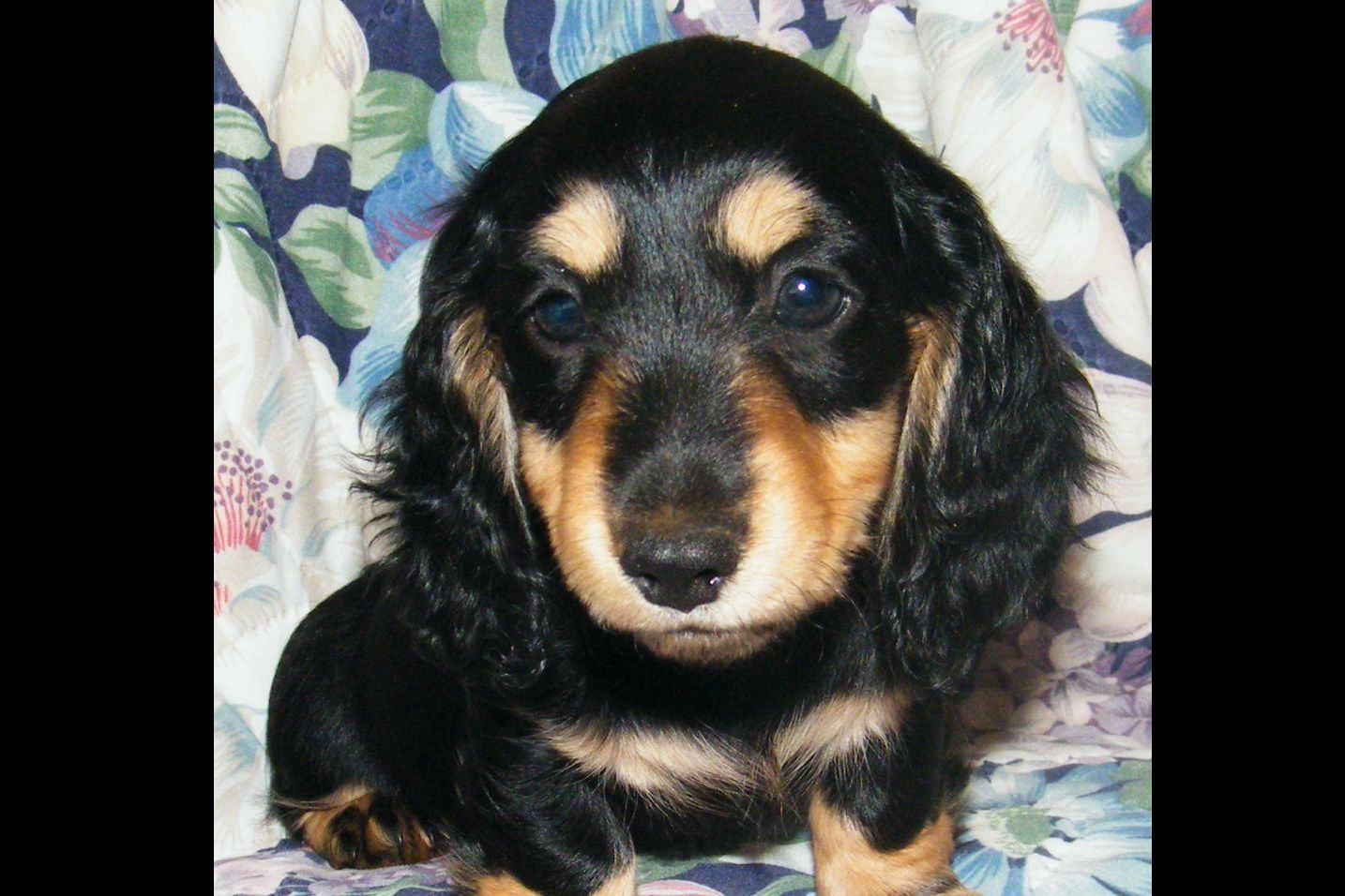 Dandydox Dachshunds Has Dachshund Puppies For Sale In