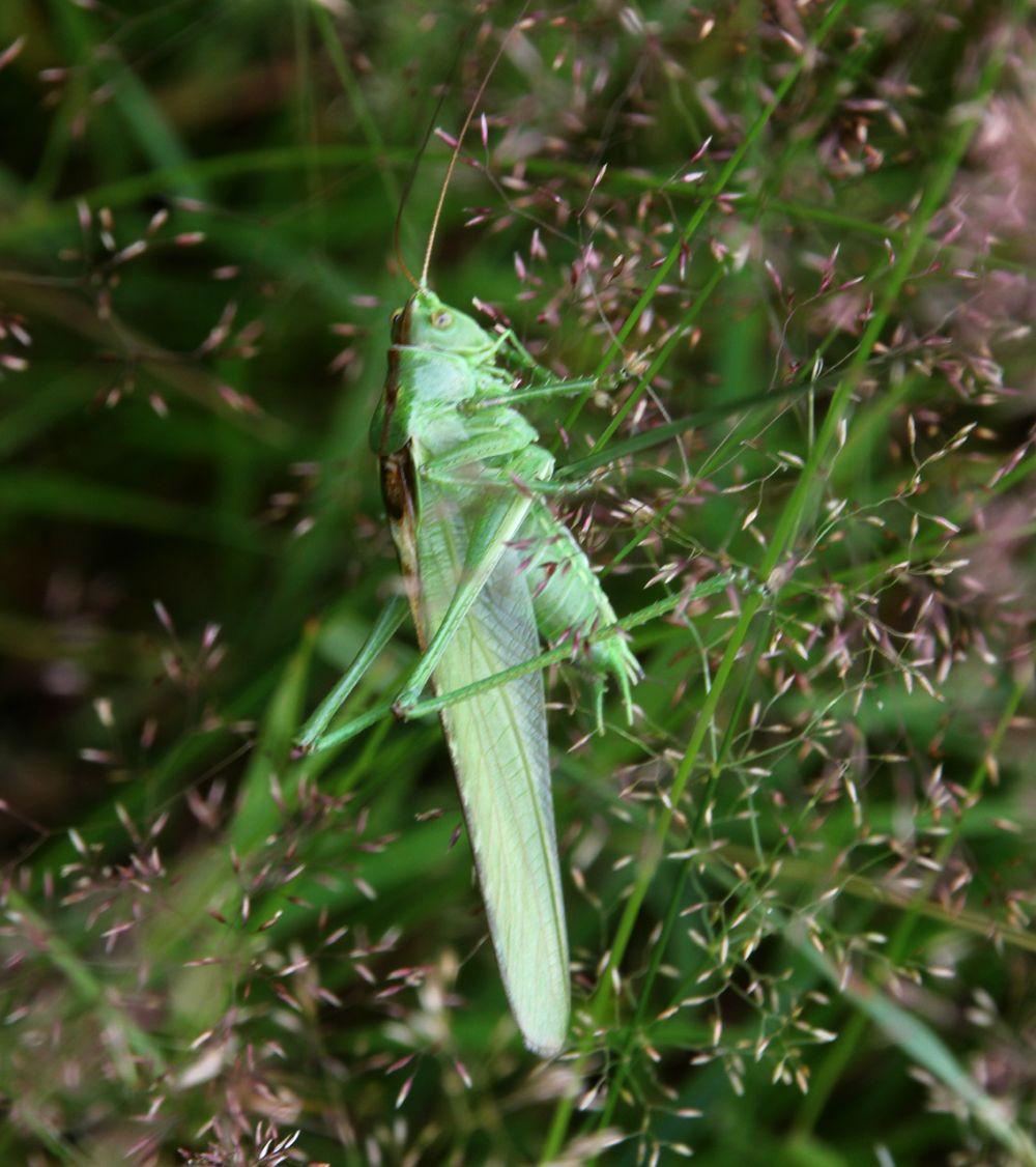 Grote groene sabelsprinkhaan tettigonia viridissima grasshoppers grote groene sabelsprinkhaan tettigonia viridissima altavistaventures Image collections