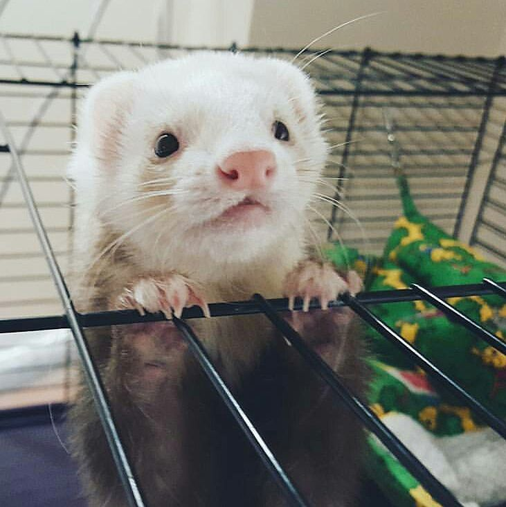 Adorable Cute Ferrets Funny Ferrets Pet Ferret