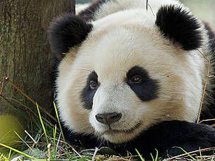 The giant panda is no longer endangered but still at risk Giant Panda (Ailuropoda melanoleuca) resting in Bifengxia, China.