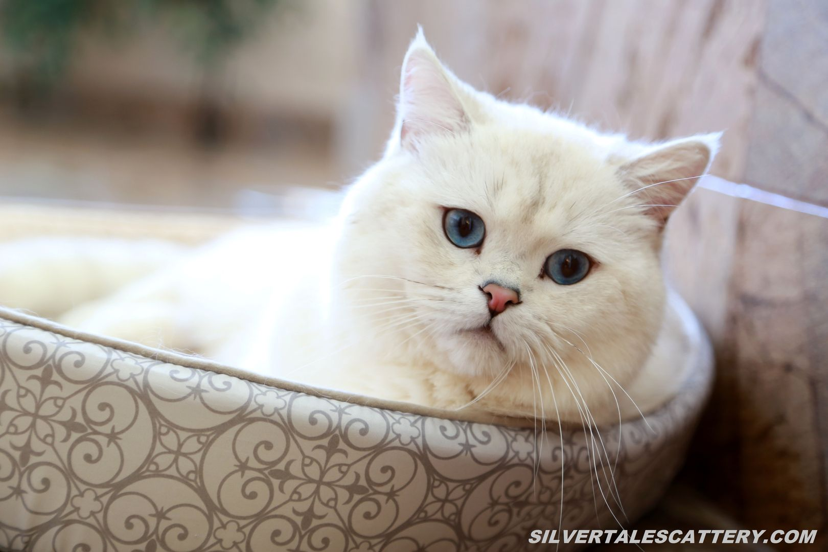 British Shorthair and Longhair Cats Cats and kittens