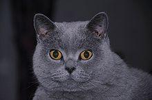 British Shorthair British Shorthair Cats Chat British Shorthair Chats Et Chatons