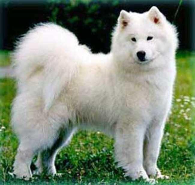 Big Dog Breeds Hypoallergenic Dog Breeds White Hypo Allergic Dog S Dog Dog Breeds Big Dog Breeds Hypoallergenic Dog Breed