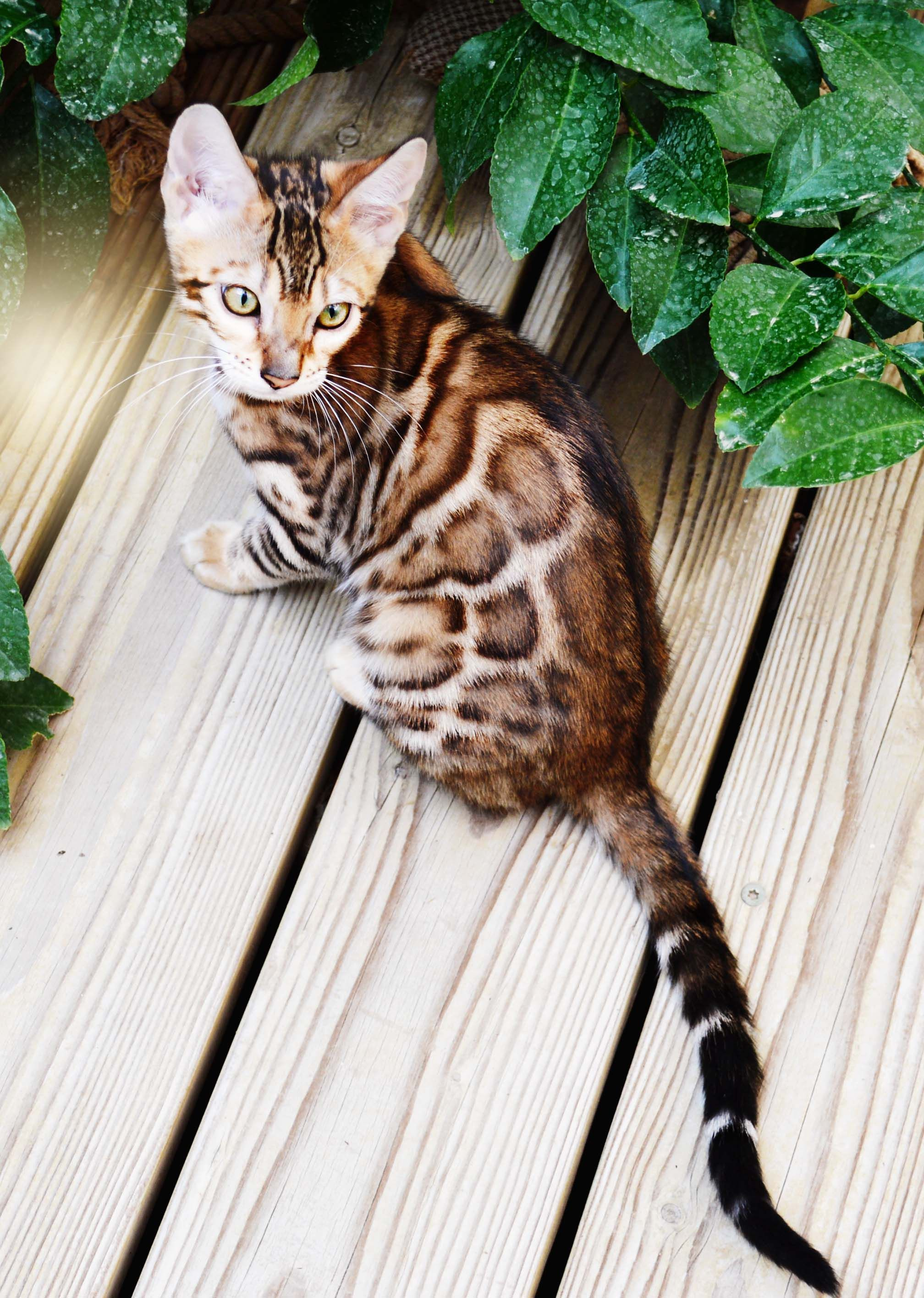 Bengal Kittens For Sale Our Beautiful Female Bengal With Large
