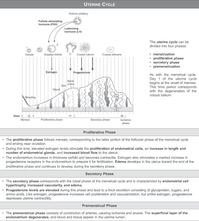 USMLE Step 1 Qbank - uterine cycle | Medical School | Pinterest ...
