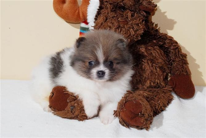 6 Unbelievable Training Chihuahuas With Praise And Affection Ideas Chihuahua Puppies Pomchi Puppies Cute Chihuahua