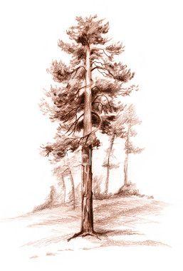 Pencil Drawing Pine Tree Istock Tree Drawing Pine