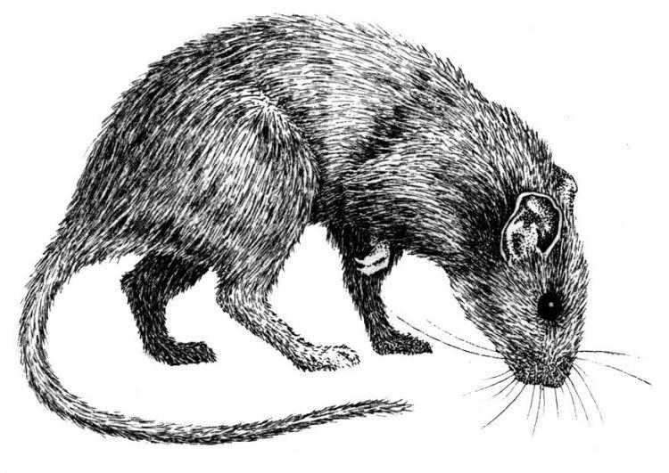 black death coloring pages | black plague rats | World creation project development ...