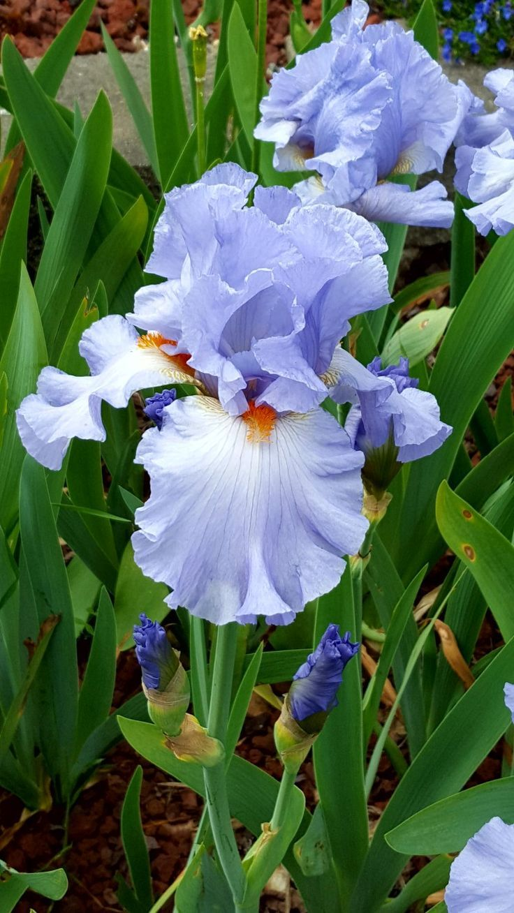 The Iris An Essential Component Of Every Perennial Flower Bed