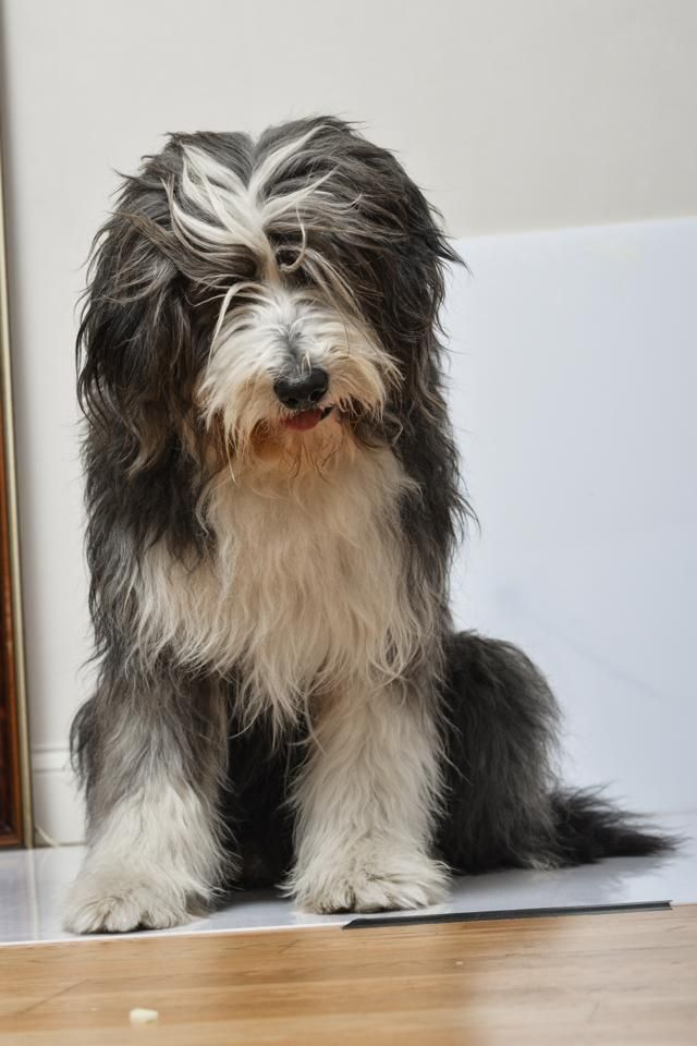 I M Sorry Please Don T Be Mad At Me Bearded Collie Dog Bearding Bearded Collie Puppies