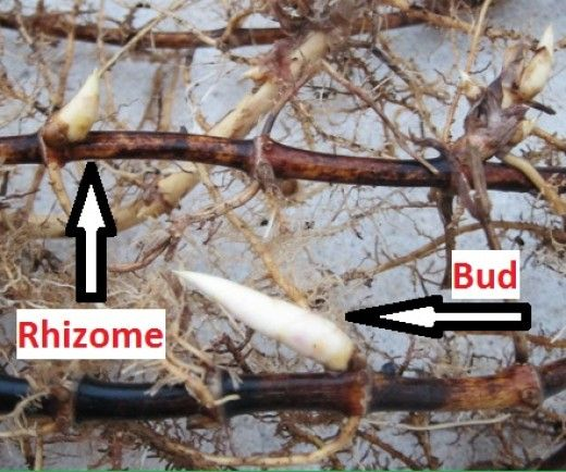 Photo of How to Grow Bamboo Cuttings