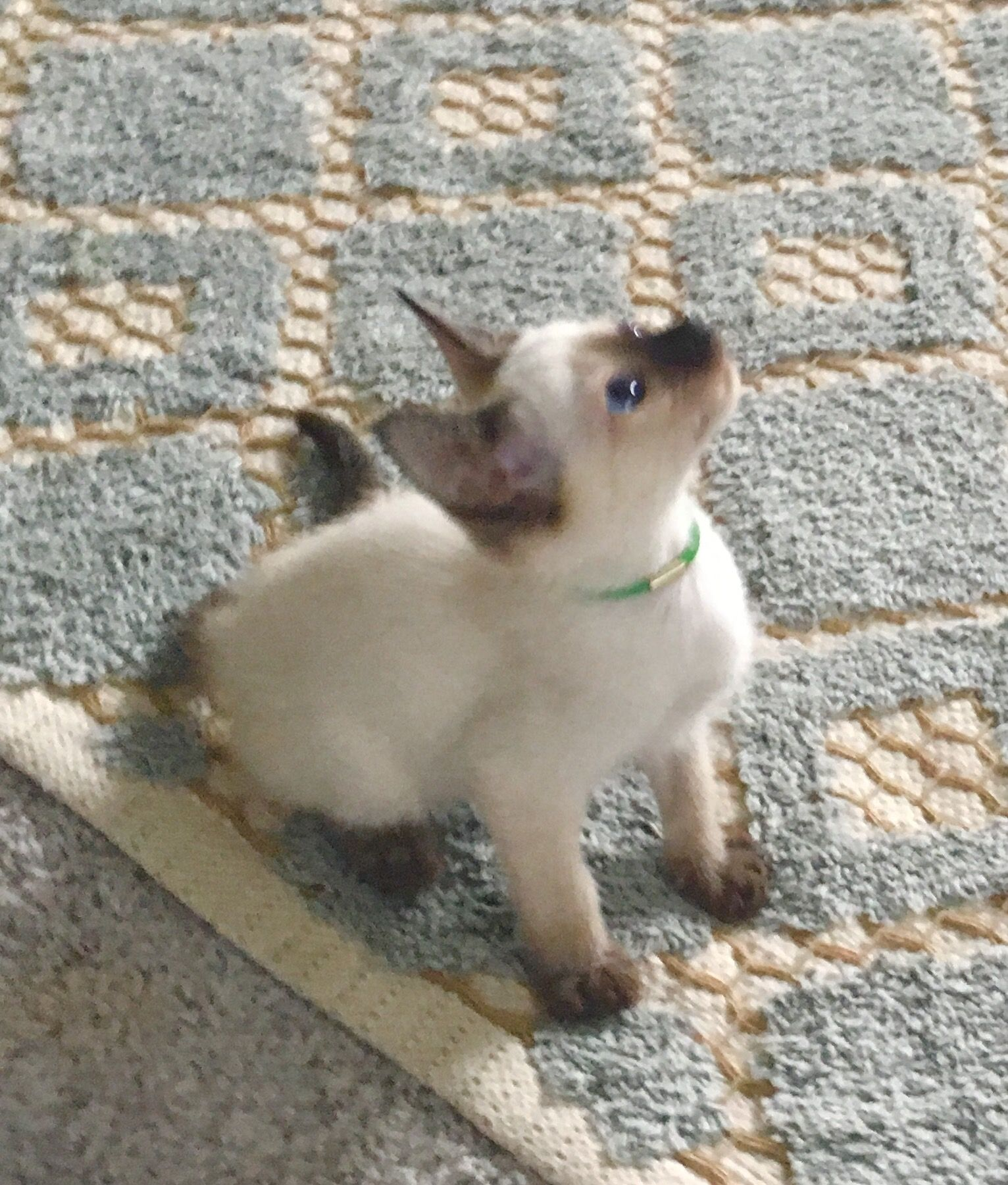 Siamese Cats For Sale Reading Pa Siamese Cats For Sale