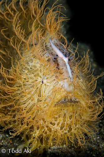 ˚Hairy Frogfish