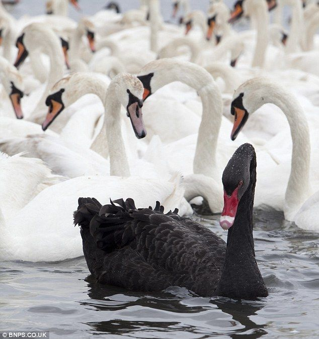 Bet he s ruffled a few feathers    Black swan stands out after gatecrashing  group of 600 white ones at ancient swannery. Bet he s ruffled a few feathers    Black swan stands out after