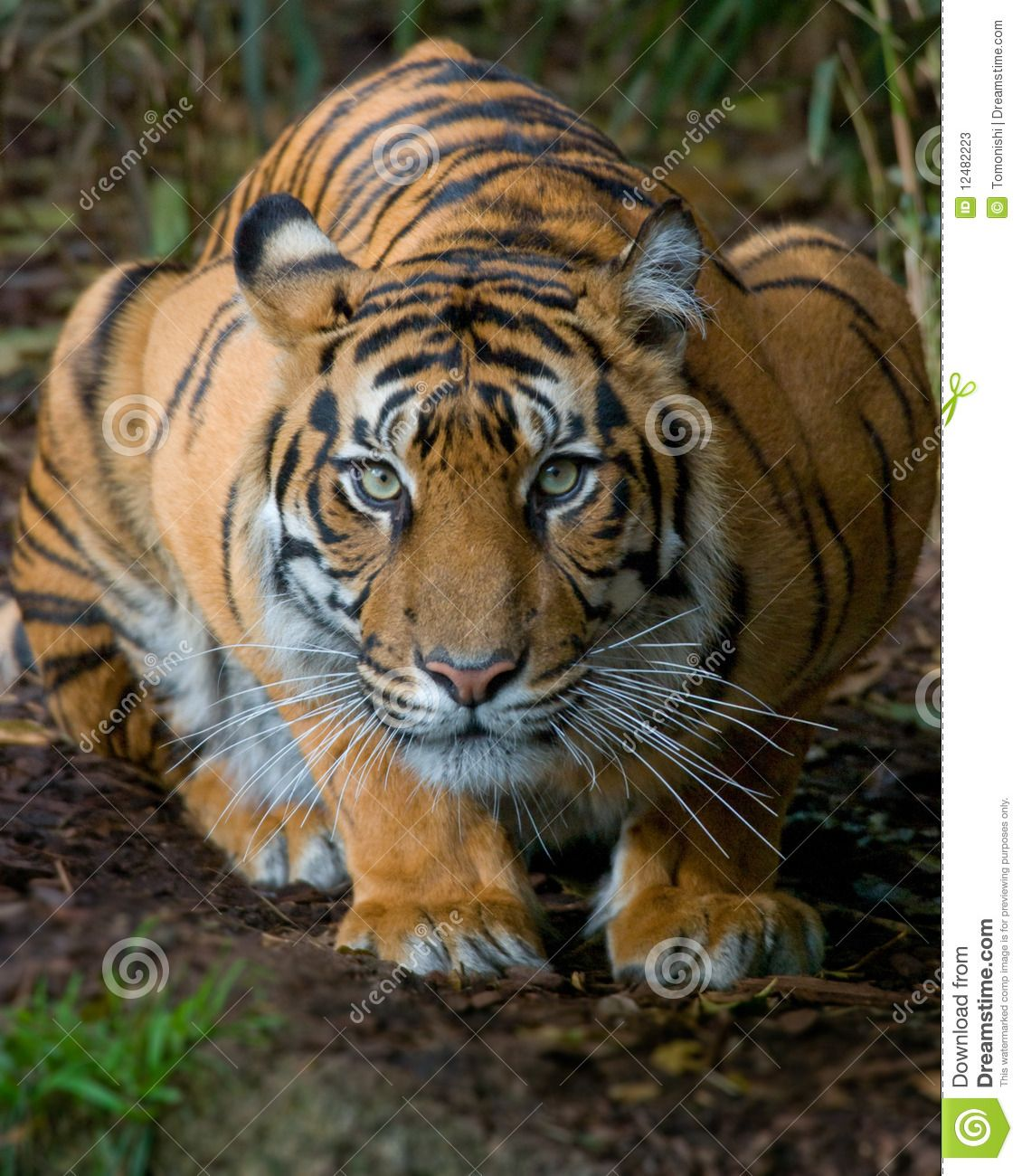 Tiger Crouching Google Search Crouching Tiger Pet Tiger Tiger