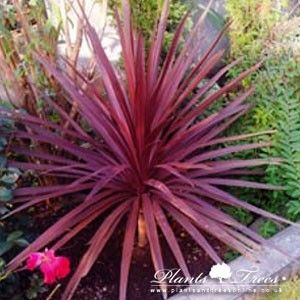 Cordyline Australis Atropurpurea Plants Trees To Plant Flower Landscape