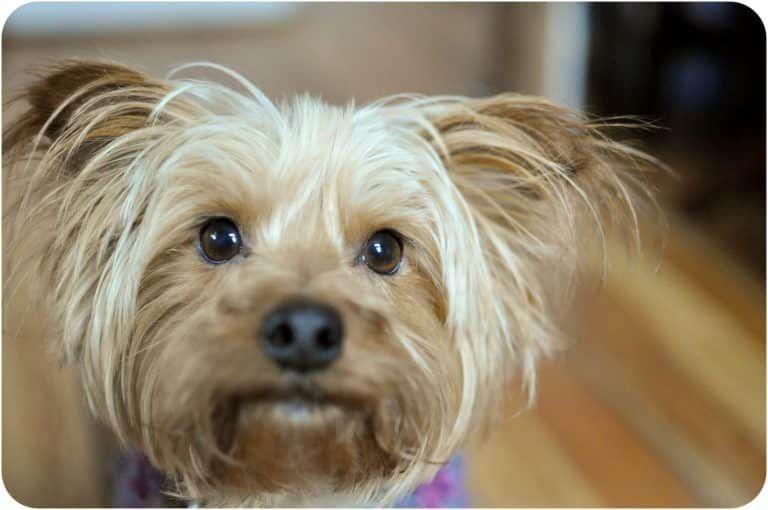 Todo Sobre El Australian Silky Terrier Precio Caracter Imagenes Cachorros Temperamento Y Mucho Mas With Images Australian Silky Terrier Silky Terrier Australian Terrier