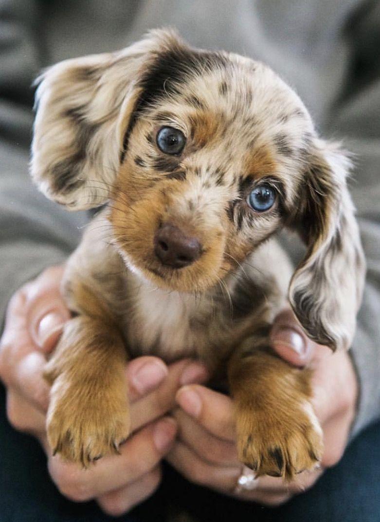 Dapple Dachshund Dachshunds Cute Dogs Images Cute