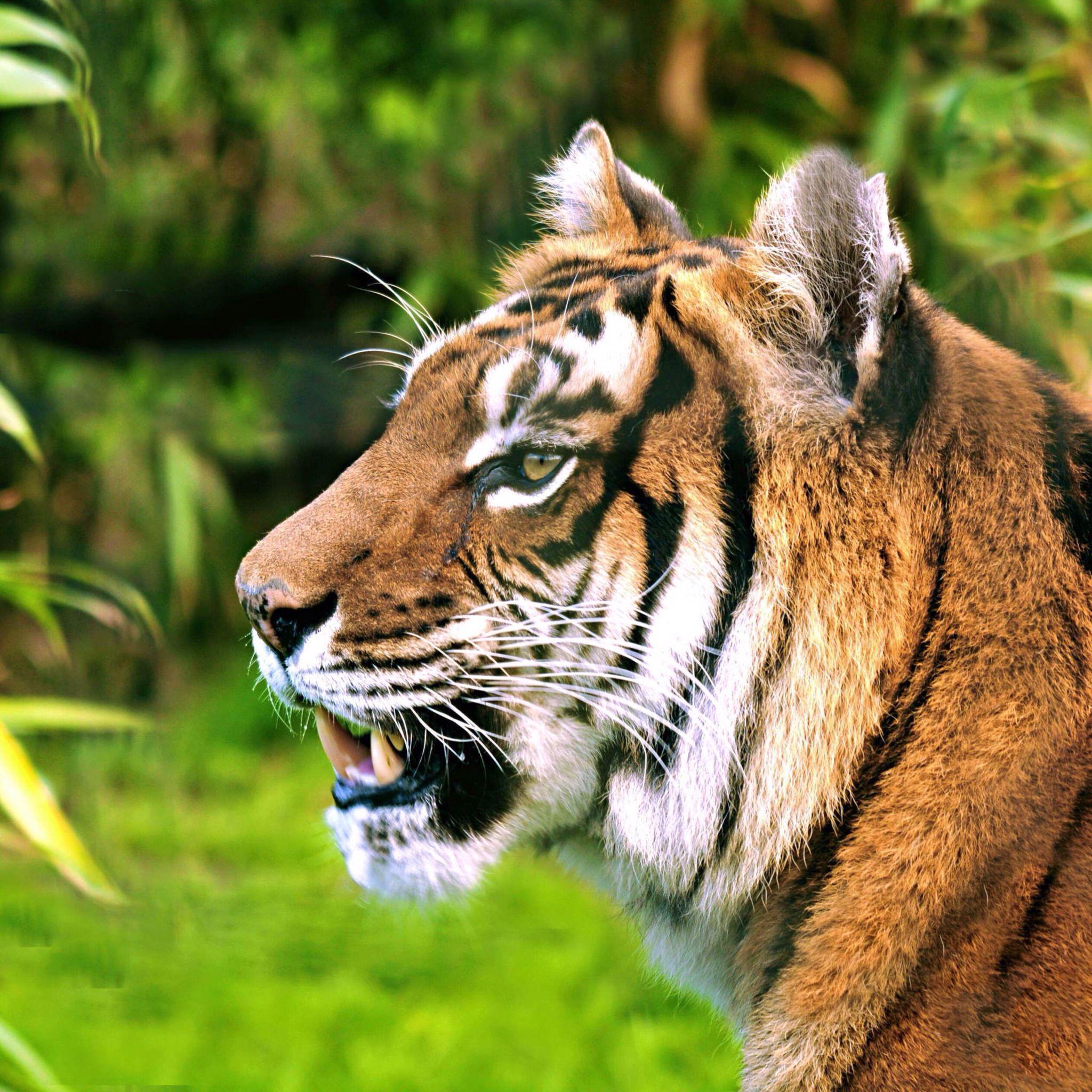 Beautiful tiger Big animals, Cat species, Sumatran tiger