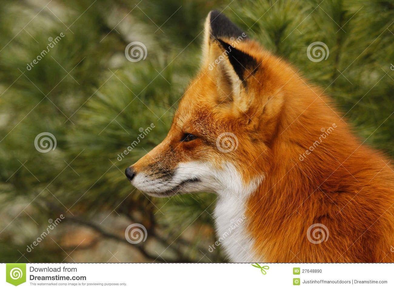 fox side view - Google...