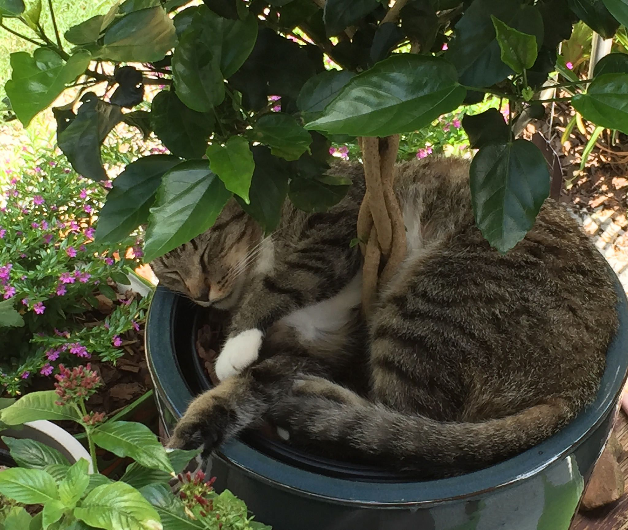 Tropical Hibiscus and cat napping   Hibiscus Container ...