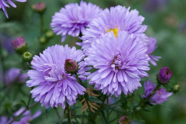 Aster Novae Angliae Purple Dome New England Asters Plants Best Perennials Cool Plants