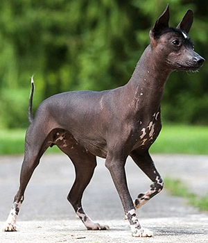 Xolos Dog Google Search In 2020 Hypoallergenic Dog Breed Hairless Dog Mexican Hairless Dog