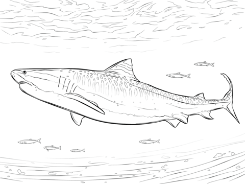 Realistic Tiger Shark Coloring Page Shark Coloring Pages Tiger Shark Coloring Pages