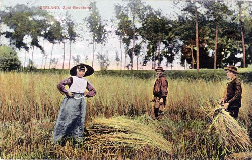 Harvesting flax in Zeeland circa 1905-1915